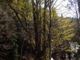 下谷の大カツラ 芽吹きが鮮やか