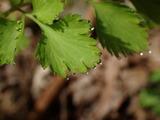 葉の溢液(イツエキ)現象