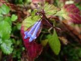 アキチョウジの草紅葉