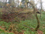 ブナの根返り倒木