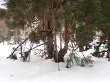 伏状更新している状態が見られるスギの冬の状態