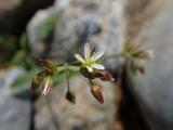 ミミナグサ オランダミミナグサと異なり花柄が長い