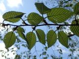 ミズメの葉 短枝に2枚ずつ葉が付き可愛い