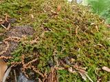 ヒモカズラ マット状に岩を覆っている