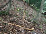 シカの樹皮剥ぎ サルナシ 冬でもほとんど食べないのになぜだ?