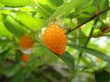 ナガバモミジイチゴの果実