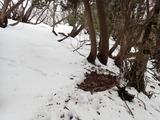 若丹国境稜線にあったシカの寝床