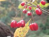 カマツカの果実