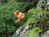 コオニユリ 開花していたのはこれ1個体だけ