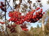 ナナカマドの果実