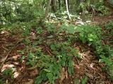 タヌキのタメ糞場 使用頻度が高く糞が多い