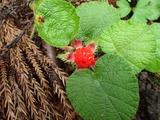 コバノフユイチゴの果実