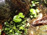中ノツボ谷にあるわずかなリュウキンカに食痕が