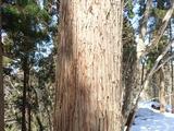 巣の材料が落ちてきたと思われるスギの樹皮