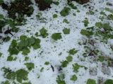 雹が3cmほど積もってテツカエデもボロボロになっている
