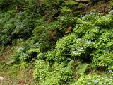 コアジサイの群生と6月咲ヤマツツジ