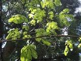 雹のためにトチノキの葉が虫食いのようだ