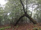 面白い樹形のイタヤカエデ