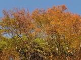 ヤマザクラなどの紅葉
