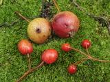 オオウラジロノキ(上)ウラジロノキ(左)アズキナシ(右)果実