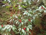 ヒメアオキの果実