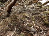 大量のシカの糞 フジが激しく採食されている