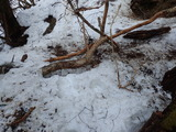シカの樹皮剥ぎ ミズナラ 糞も大量にあった