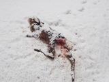 雪の上にあった1才くらいの牝シカの死体