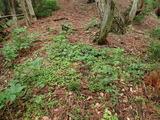 タヌキのタメ糞場 リョウブが大きく育っていた