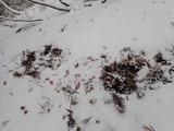 シカが餌を探すために足で雪を避けた跡
