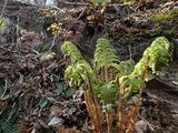 サカゲイノデの開葉