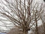 枝分かれが激しいブナ