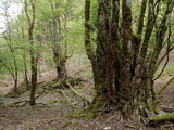 赤崎東谷 大きなカツラが多い