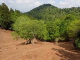イワヒメワラビの群生地と傘峠