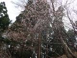 キンキマメザクラが七分咲き