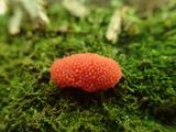 クダホコリ(変形菌)