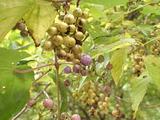 キブシ(上)とノブドウ(下)の果実
