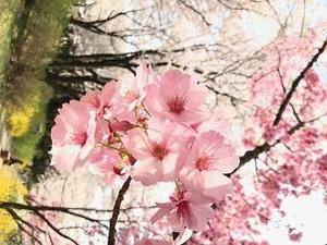 東京桜満開