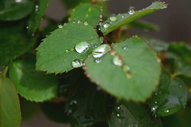 芽 の ふる 針 の 春雨 の に 二 ない たる 薔薇 の 伸び くれ やわらか 尺