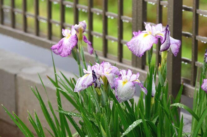 たる ふる に の 薔薇 の 針 の 芽 くれ 二 やわらか ない 春雨 の 伸び 尺