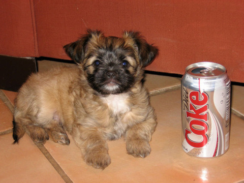 soda_can_sized_puppies_640_07