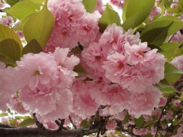 大阪造幣局の桜1