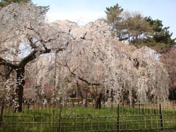 京都御苑の桜2