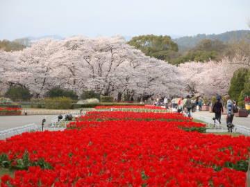 京都府立植物園の桜1