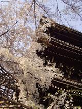 真如堂の枝垂れ桜