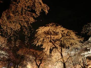 京都府立植物園の夜桜3
