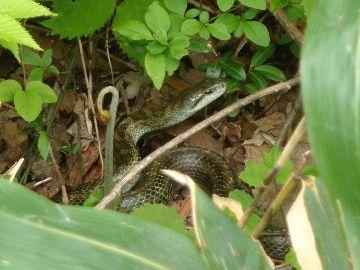 わらびとヘビ