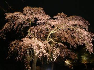 知恩院友禅苑の枝垂れ桜