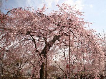 平野神社鳥居の桜
