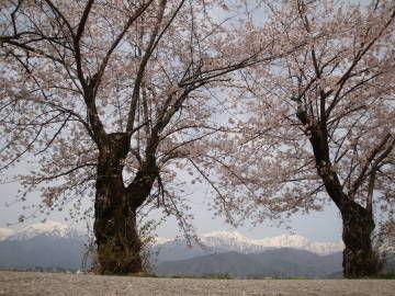 東山の桜並木